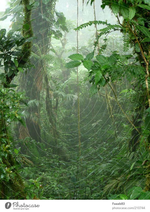 Pandora Natur grün Baum Pflanze ruhig Wald Nebel Wachstum Sträucher geheimnisvoll Urwald Moos mystisch exotisch Grünpflanze Mittelamerika
