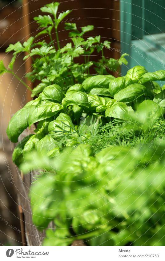 green krauts of home grün Pflanze Fenster Garten Gesundheit Wachstum Lebensfreude natürlich Kräuter & Gewürze Duft Grünpflanze bescheiden Fensterbrett