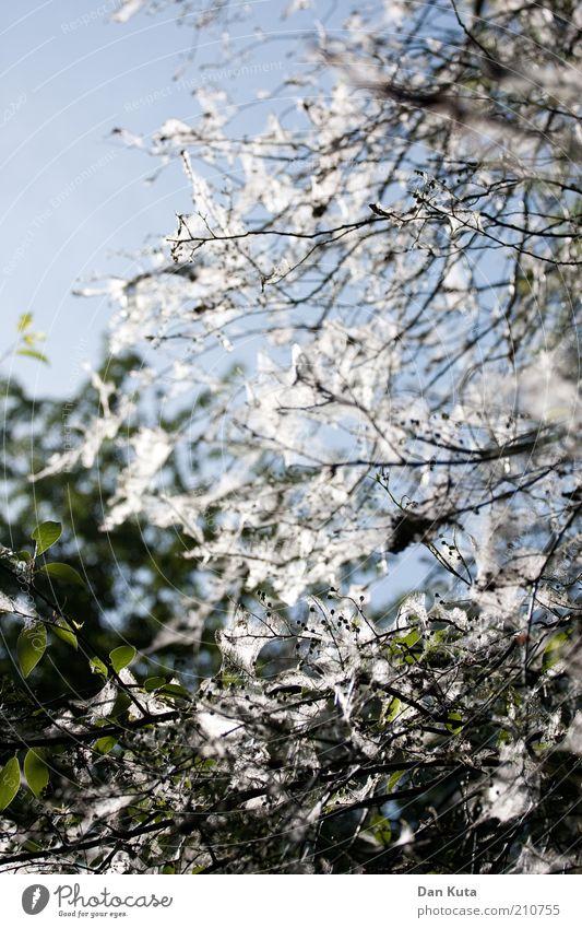 Gespinst-Gespenst Natur Sonne Sommer Schönes Wetter Baum Grünpflanze Park Motte Gespinstmotte spinnen samtig beängstigend bedrohlich Farbfoto Gedeckte Farben