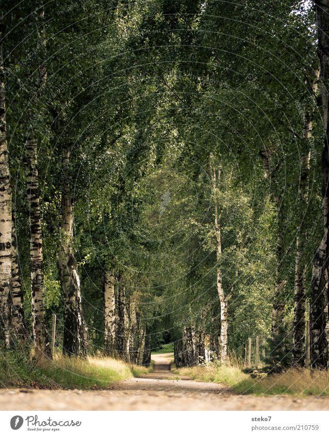 Strassenname gesucht Landschaft Baum Park Wege & Pfade Allee Ferne Natur Birke Birkenallee Einsamkeit Farbfoto Außenaufnahme Textfreiraum Mitte Tag