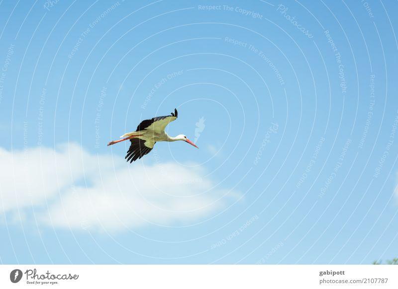 Geburtenrate steigend II Wellness Leben Wohlgefühl Umwelt Natur Luft Himmel Wolken Sonne Sommer Klima Schönes Wetter Tier Nutztier Vogel Storch 1 fliegen