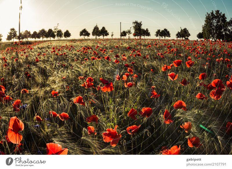 italienischer Mohn Natur Ferien & Urlaub & Reisen Pflanze Sommer Farbe Landschaft Blume Erholung Umwelt Wiese Gras Glück Horizont Feld Idylle Sträucher