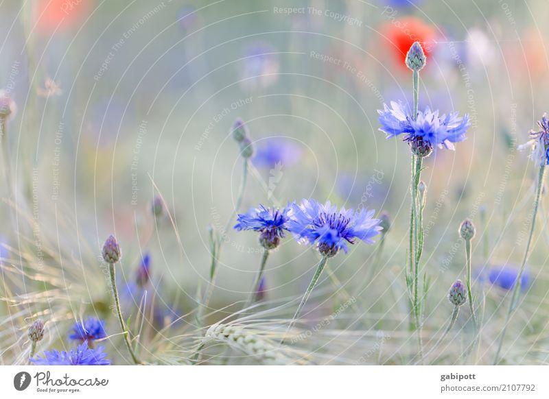 Insektenhotel harmonisch Wohlgefühl Zufriedenheit Sinnesorgane Erholung ruhig Umwelt Natur Landschaft Sommer Schönes Wetter Pflanze Blume Kornblume Mohn Garten