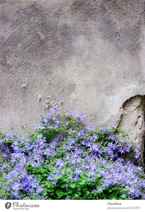 Mauerblümchen Pflanze Grünpflanze Stein Beton alt trist grau violett Hoffnung Kontrast Einsamkeit Farbfoto Außenaufnahme Textfreiraum oben Dämmerung Hinterhof
