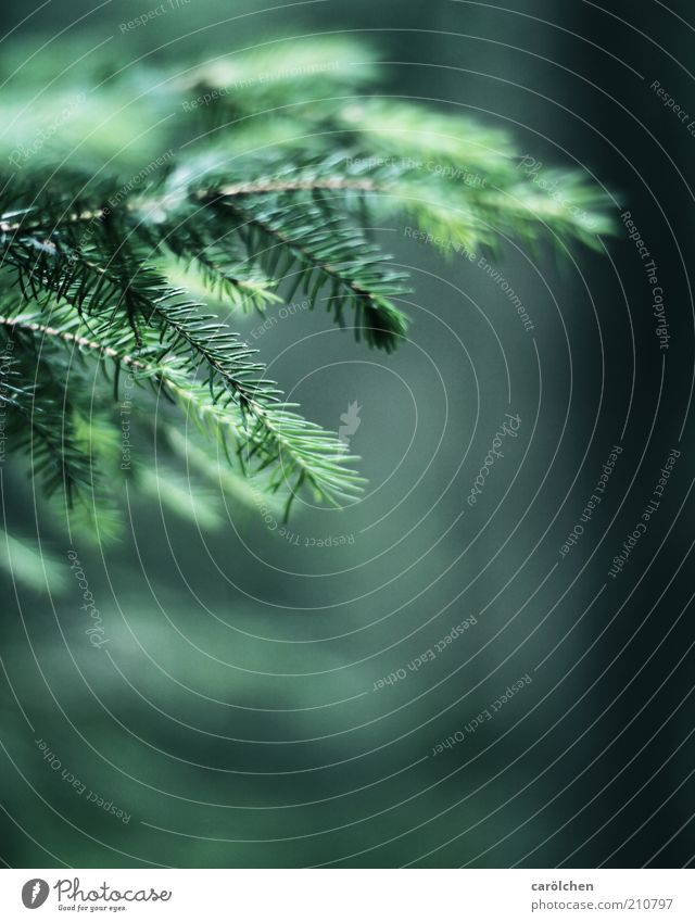 Zweige Natur grün Baum Pflanze Umwelt Landschaft Weihnachtsbaum Tanne Grünpflanze Fichte Zweige u. Äste Nadelbaum Tannennadel Nadelwald Tannenzweig