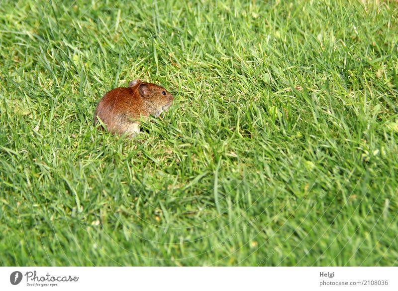kleiner Besucher Umwelt Natur Pflanze Tier Sommer Schönes Wetter Gras Garten Wildtier Maus 1 Blick außergewöhnlich einzigartig natürlich braun grün Wachsamkeit