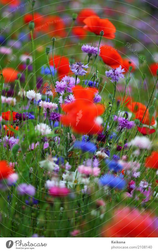 Cornflower meadow with poppies. Pflanze blau Sommer Gesunde Ernährung Landschaft Blume rot Erholung ruhig Ferne Wärme Umwelt Blüte Wiese Gesundheit Glück
