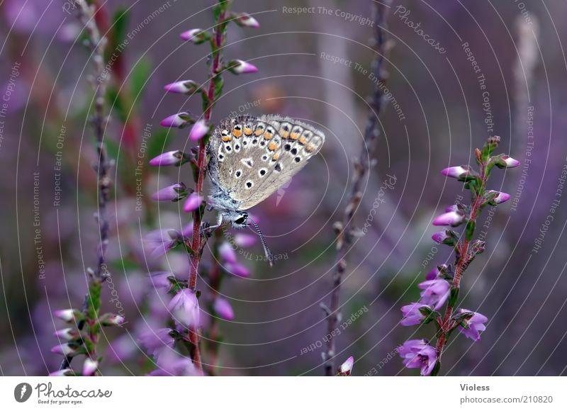 Bläuling in der Heide Pflanze Schmetterling 1 Tier Stimmung Bläulinge Farbfoto Tag Unschärfe Schwache Tiefenschärfe Heidekrautgewächse