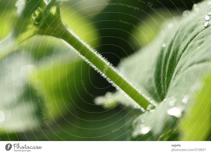 lichtspiel II Umwelt Natur Pflanze Blatt grün Stengel Wassertropfen Flaum Farbfoto Außenaufnahme Nahaufnahme Detailaufnahme Makroaufnahme Tag Sonnenlicht
