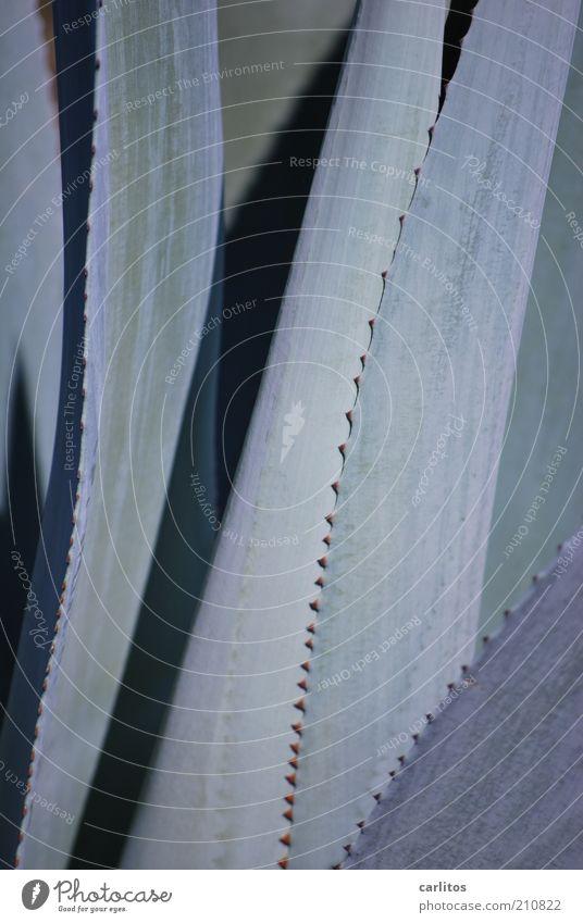 Ökosäge blau Pflanze Sommer Blatt dunkel grau ästhetisch Schutz Spitze natürlich exotisch Mallorca Stachel stachelig Dorn Wildpflanze
