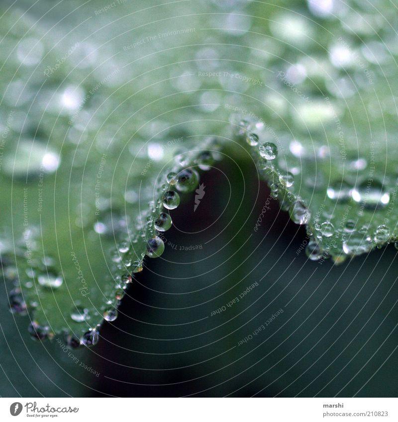 glitzernde Perlen Natur grün Pflanze glänzend Wassertropfen Tropfen feucht Tau Wasser Grünpflanze Makroaufnahme hydrophob Frauenmantel