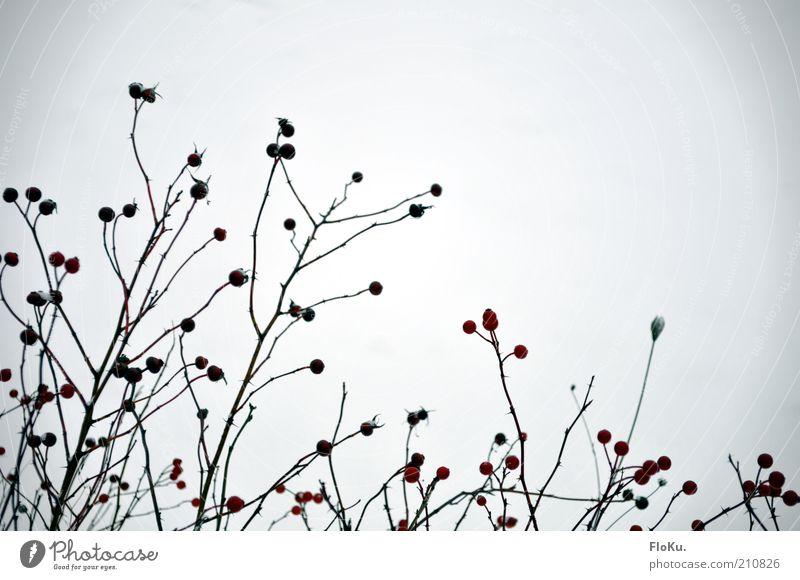 Eis-Beeren Natur weiß Pflanze rot Winter schwarz Umwelt Sträucher Zweig Beeren Strukturen & Formen Silhouette Wildpflanze Beerensträucher