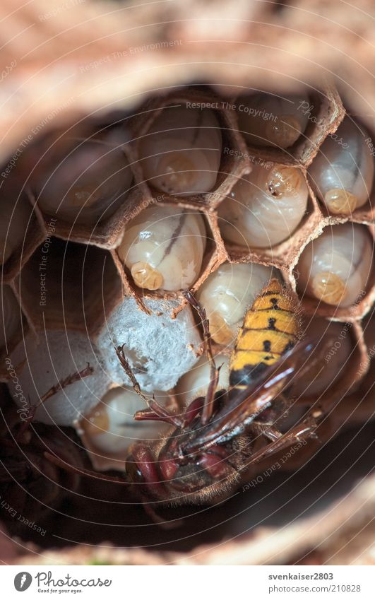 Säuglingsstation Umwelt Natur Tier Sommer Garten Wildtier Hornissen Larve Tiergruppe füttern krabbeln eckig nah natürlich wild braun gelb weiß Kontakt Leben