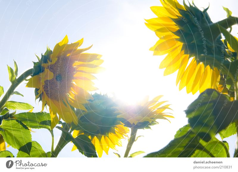 tratschende Sonnenblumen im Gegenlicht Natur Pflanze Wolkenloser Himmel Schönes Wetter Blume hell blau gelb grün Sommer Sonnenlicht Sonnenstrahlen Wachstum