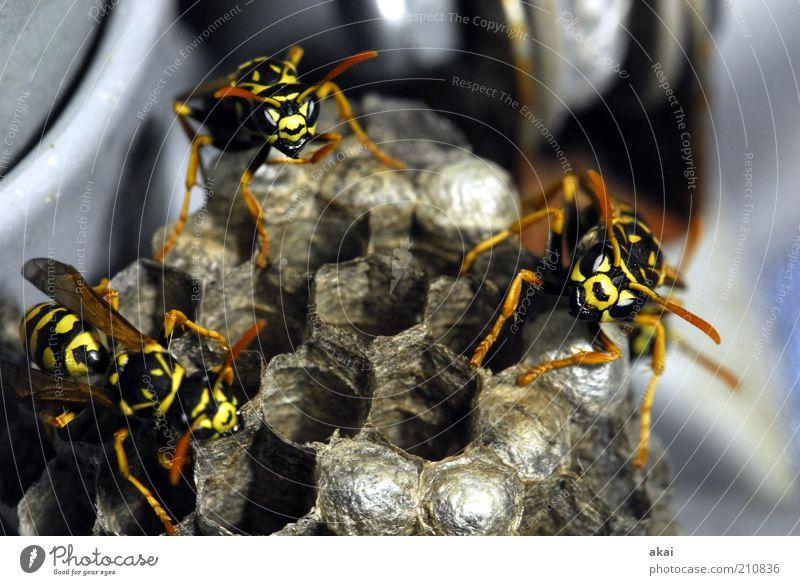 Wächterinnen der Brut - Wespen am Wespennest Natur Tier Wildtier 3 Tiergruppe beobachten Bewegung krabbeln Aggression bedrohlich nah gelb Gefühle Kraft Mut