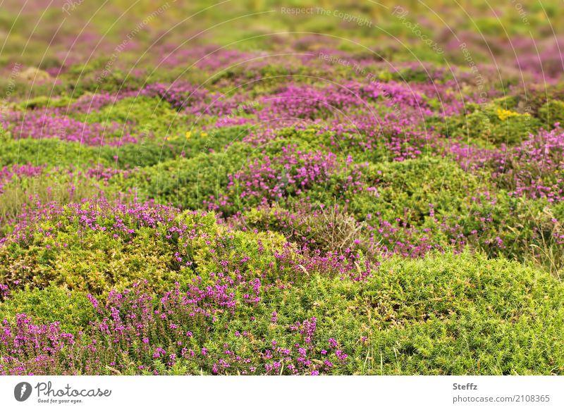 Sommer im Norden Natur Landschaft Pflanze Sträucher Wildpflanze Heidekrautgewächse Blumenteppich Sommerblumen Großbritannien Wales Nordeuropa Blühend Wachstum