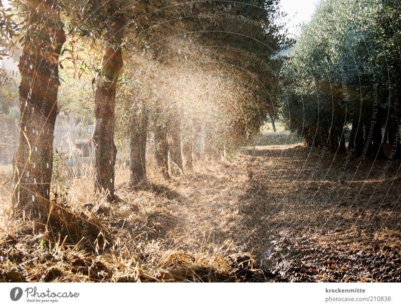 olio di oliva Natur Wasser Baum grün Pflanze Sommer Ferien & Urlaub & Reisen Blatt Gras Wege & Pfade Landschaft nass Wassertropfen gold Erde Italien