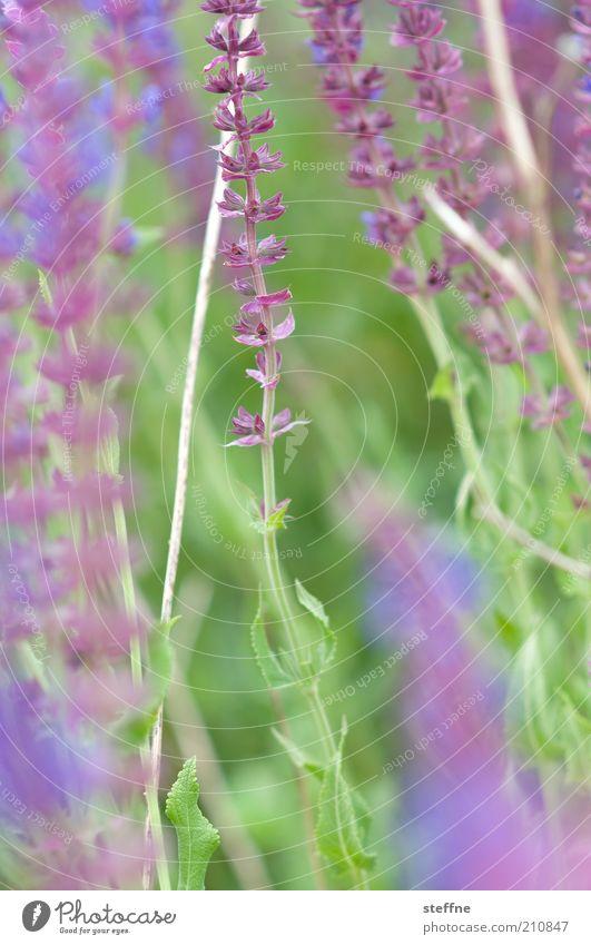 [H 10.1] Irgendwas mit Blümchen Natur Blume grün Pflanze violett zart Kräuter & Gewürze Lavendel zartes Grün