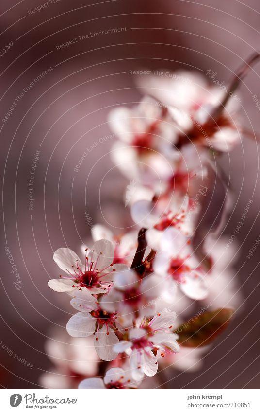 japanische knirschzicke schön weiß Baum Pflanze rot Leben Blüte rosa elegant frisch Wachstum weich Wandel & Veränderung Blühend Duft positiv