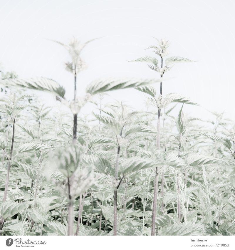 burning sensation Umwelt Natur Pflanze Wolkenloser Himmel Sommer Grünpflanze Wildpflanze Brennnessel hell natürlich grün weiß Farbfoto Gedeckte Farben