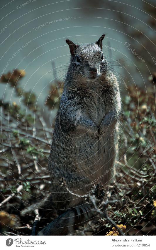 Gestatten, Hörnchen. Tier Wildtier Fell Eichhörnchen 1 stehen niedlich frech Stehvermögen Nagetiere Blick Körperhaltung Erwartung Lebewesen Natur Farbfoto