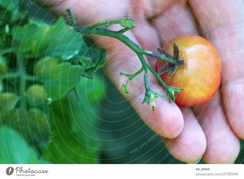Ernte Pflanze Sommer Farbe grün Gesunde Ernährung Hand rot Essen Herbst Gesundheit Garten Lebensmittel orange Erde genießen