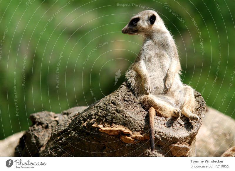 Im Chefsessel Erholung Zoologie Natur Sommer Afrika Tier Wildtier Erdmännchen Suricata suricatta Surikate Manguste 1 beobachten genießen sitzen lustig niedlich