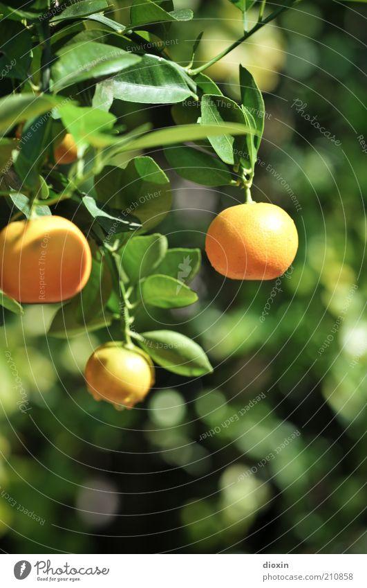 Fresh Fruit for Rotting Vegetables Lebensmittel Frucht Bioprodukte Vegetarische Ernährung Sommer Pflanze Blatt Nutzpflanze exotisch Zitrusfrüchte Mandarine