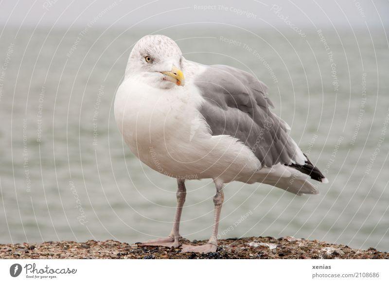 Eine Möwe auf der Mauer blau weiß Meer Tier Strand schwarz gelb Küste grau Vogel Wildtier stehen Ostsee Hafen Sommerurlaub