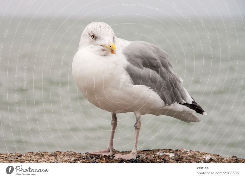 Eine Möwe auf der Mauer Sommerurlaub Strand Meer Küste Ostsee Hafen Wildtier Vogel Silbermöwe 1 Tier stehen blau gelb grau schwarz weiß maritim Blick