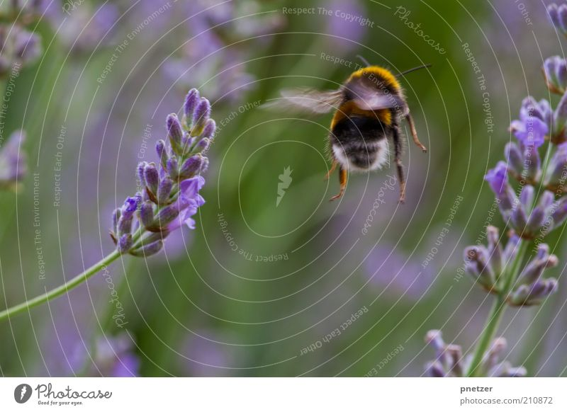 Abflug Umwelt Natur Frühling Sommer Klima Klimawandel Wetter Pflanze Blüte Park Tier Nutztier Wildtier Flügel Hummel 1 Blühend fliegen Insekt Makroaufnahme