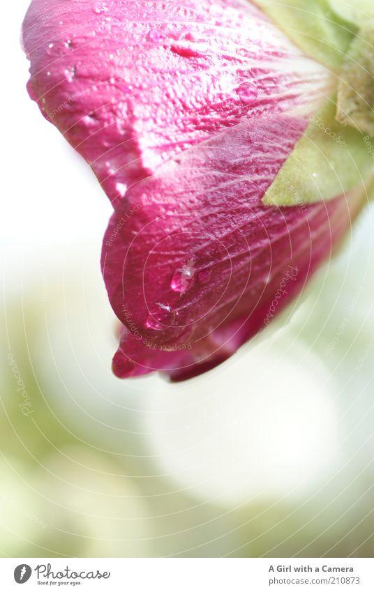 nach dem Regen ..... Natur Wasser schön Blume Pflanze Blüte rosa nass Wassertropfen frisch Romantik violett zart natürlich Blühend Tau