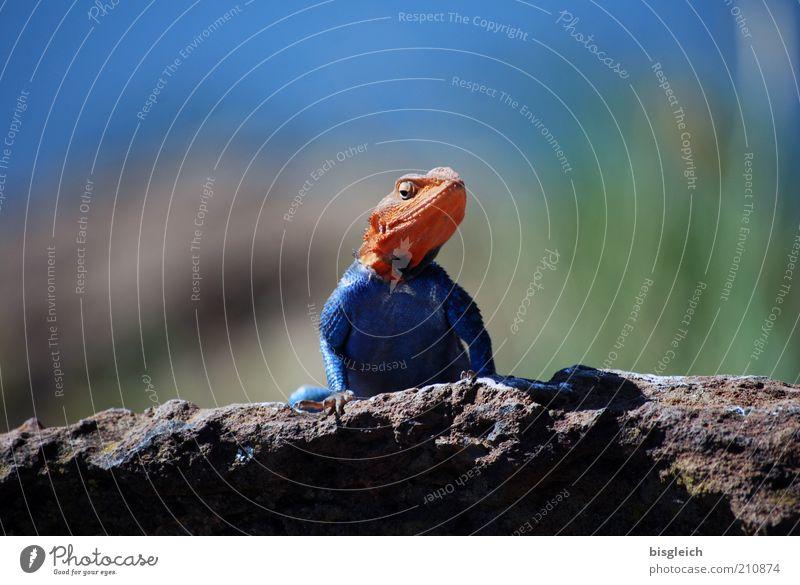 Goldköpfchen Tier Wildtier Tiergesicht 1 außergewöhnlich exotisch Neugier blau gold Wachsamkeit Echte Eidechsen Afrika Farbfoto Außenaufnahme Tag