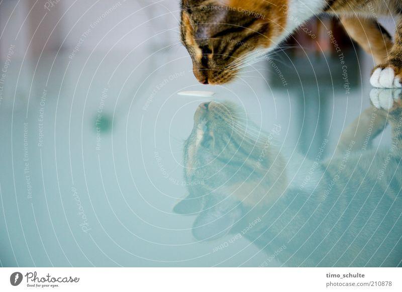 Katzenmilch 2 Tier Glas trinken Tiergesicht Sauberkeit rein Fell Neugier Appetit & Hunger Wachsamkeit Fressen Pfote Haustier Spiegelbild Durst