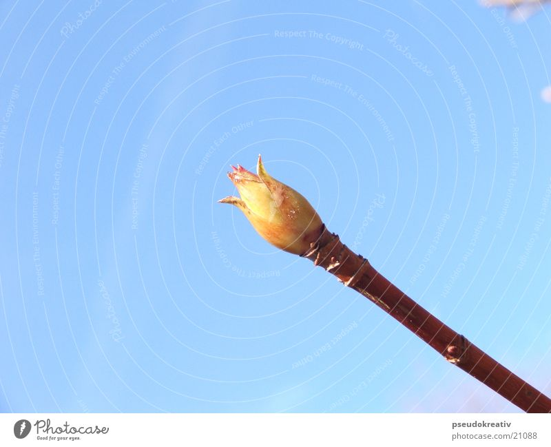 Hans Frühling Pflanze Wachstum Blütenknospen Blühend Himmel blau Stengel