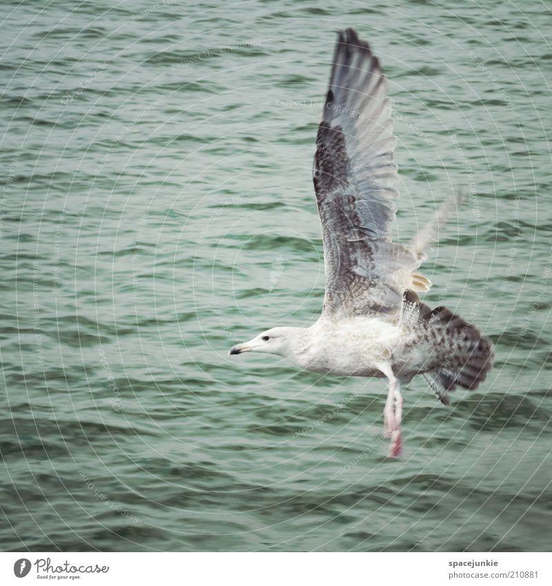 Landung Wasser Meer ruhig Tier Freiheit See Luft Vogel fliegen nass frei Feder Flügel Spannweite Vogelflug