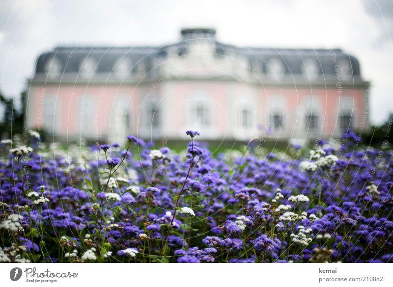 Rosa Schloss Natur schön Blume Pflanze Sommer Haus Blüte Garten Park Gebäude rosa Umwelt Wachstum violett Burg oder Schloss Blühend