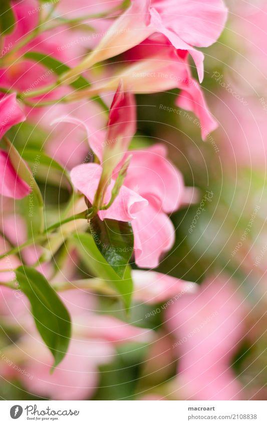 Dipladenie /Mandevilla Natur Pflanze Sommer Blume Blüte Frühling natürlich Garten Park Dekoration & Verzierung Gartenarbeit pflanzlich züchten Zimmerpflanze