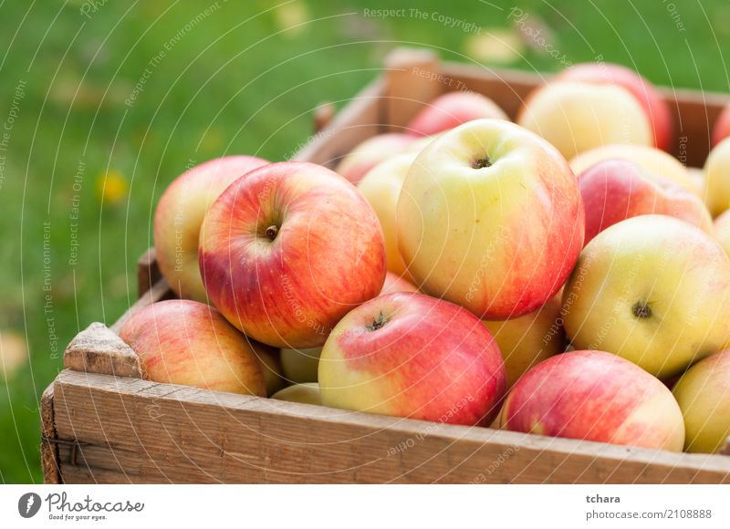 Reife Äpfel Frucht Apfel Ernährung Vegetarische Ernährung Diät Sommer Menschengruppe Natur Baum Holz frisch hell lecker natürlich saftig grün rot weiß Farbe