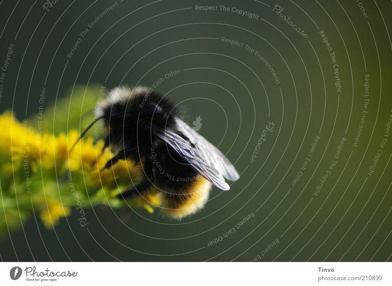 bumble- bee 2 Natur Sommer Pflanze Blüte Wildtier Biene Flügel 1 Tier gelb grün schwarz Hummel saugen Nektar Erdhummel Farbfoto Außenaufnahme Nahaufnahme