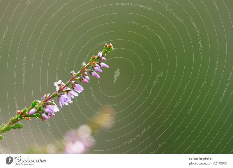 Oh Erica, oh Erica 2 Umwelt Natur Pflanze Blüte Blühend violett Heidekrautgewächse Bergheide Blütenblatt Farbfoto mehrfarbig Außenaufnahme Menschenleer