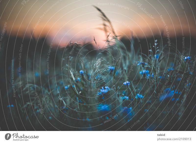 Sommerwiese Umwelt Natur Landschaft Pflanze Himmel Wolkenloser Himmel Horizont Frühling Schönes Wetter Blume Gras Sträucher Wiese nah Blumenwiese blau Kornblume