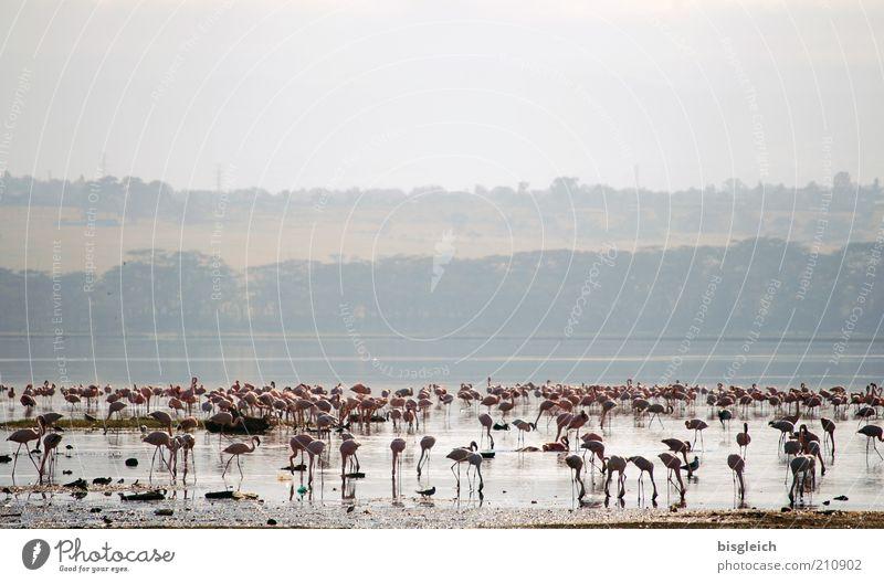 Flamingos See rosa Afrika Seeufer Fressen Safari Nationalpark Schwarm Licht Kenia
