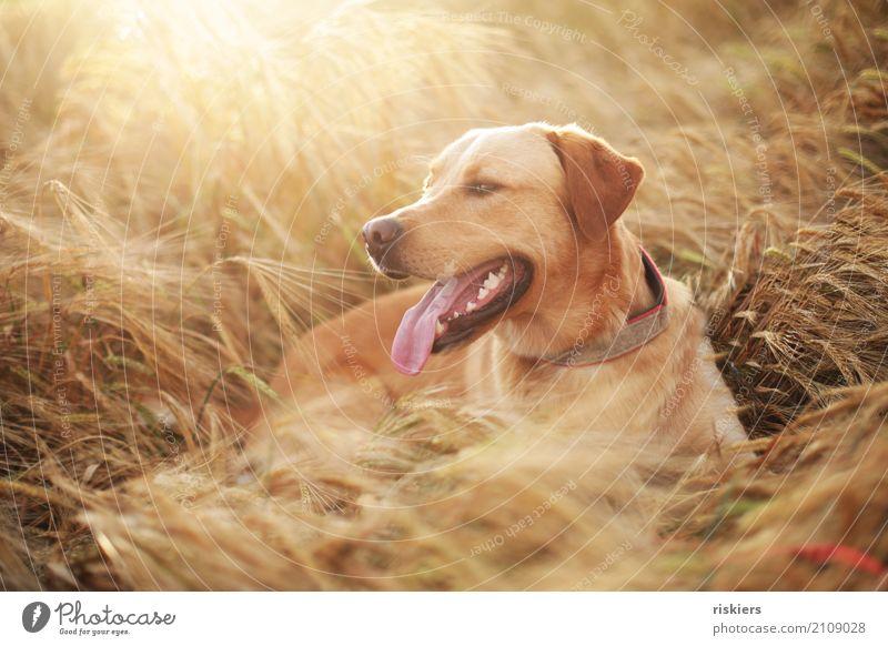 Lennox Hund Sommer schön Erholung Tier gelb natürlich braun Zufriedenheit leuchten Feld gold Lächeln Schönes Wetter Lebensfreude beobachten