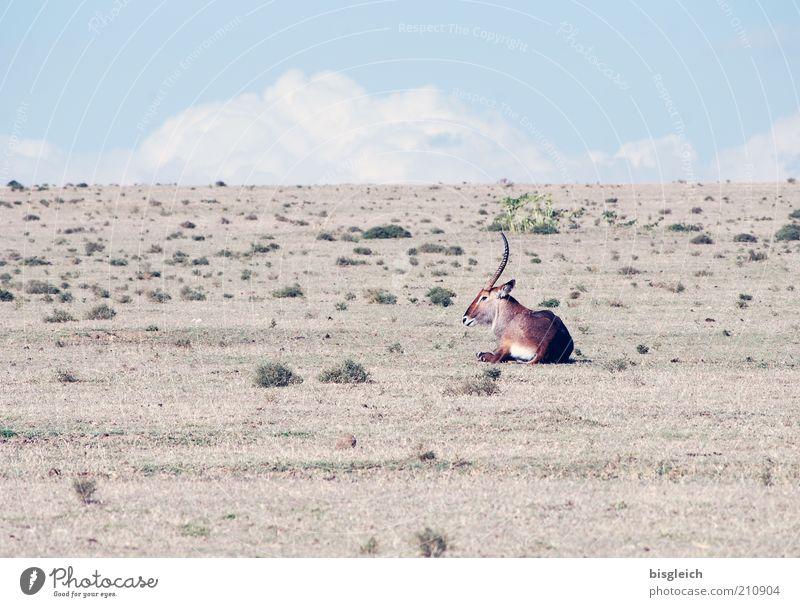 Antilope blau Tier braun liegen Afrika trocken einzeln Dürre Steppe Antilopen