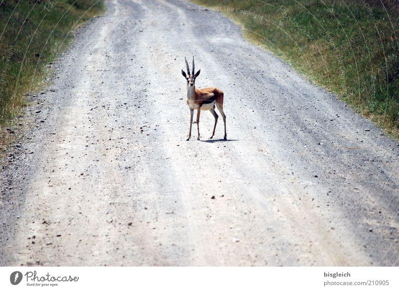 Ich bremse auch für Tiere Wildtier 1 Überraschung Lake Nakuru National Park Afrika Farbfoto Außenaufnahme Zentralperspektive Blick in die Kamera Antilopen Kenia