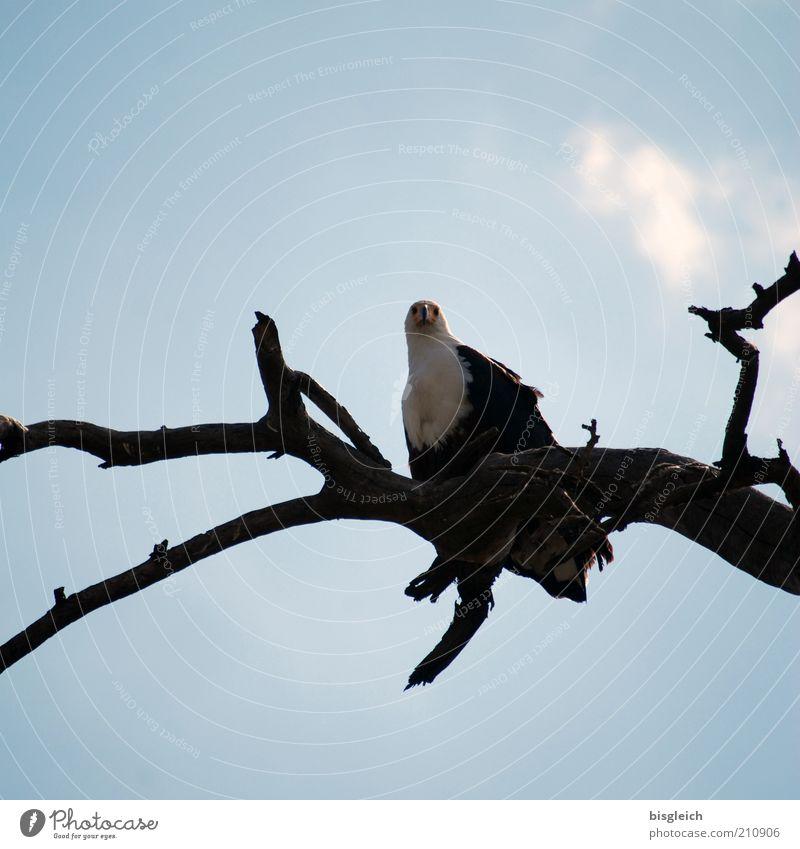 Seeadler Wildtier Vogel 1 Tier blau Wachsamkeit Afrika Farbfoto Außenaufnahme Froschperspektive Ast beobachten achtsam Hintergrund neutral Textfreiraum oben