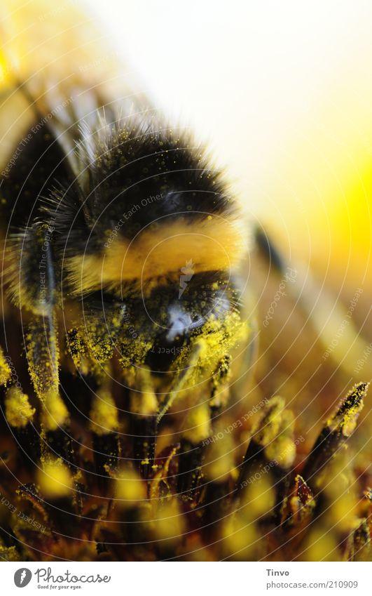 Große Sause Natur Pflanze Sommer Blume Blüte 1 Tier gelb schwarz weiß Hummel Sonnenblume Pollen saugen Farbfoto Außenaufnahme Makroaufnahme Menschenleer