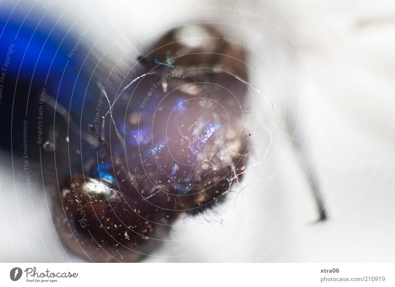 portrait Tier Insekt Kopf Facettenauge Auge blau glänzend Farbfoto Nahaufnahme Detailaufnahme Makroaufnahme Tierporträt Textfreiraum rechts