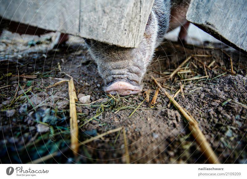 Minischwein Sommer Tier natürlich Glück rosa Zufriedenheit dreckig Idylle genießen niedlich Neugier Hoffnung entdecken Landwirtschaft Bauernhof Haustier